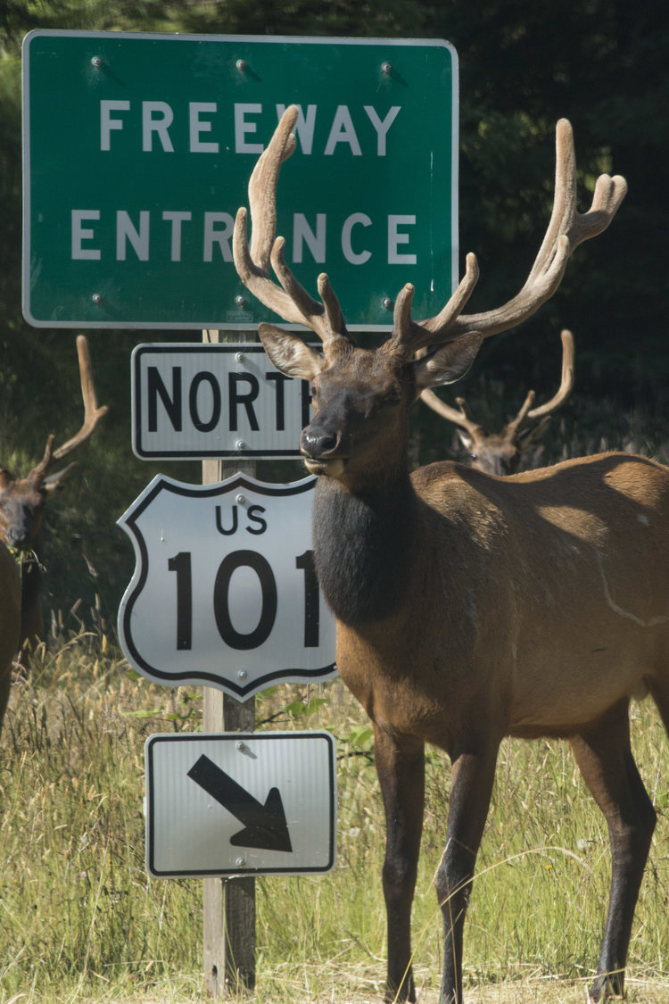 elk-by-north-101-sign